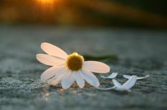 plucking-daisies-e1283285754687